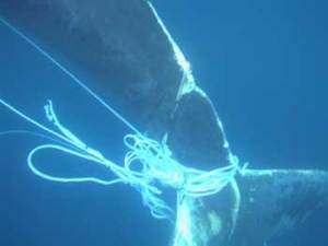 humpback-trapped-in-net