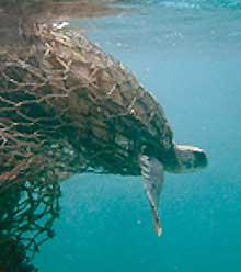 Sea Turtle Caught In Fishing Net
