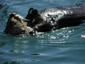 Sea Otter in Morro Bay. (C. Coimbra Photo)