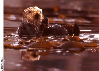 Click this photo to learn more about sea otters.
