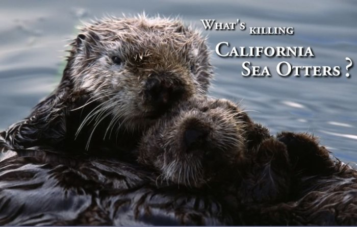 Click the photo to link to seaotterresearch.org.