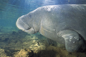 save-the-manatee