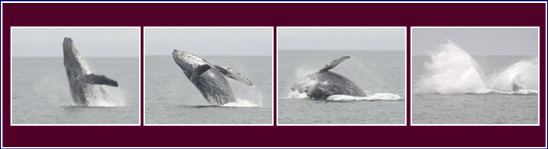 Photo from Juneau Humpback Whale Catalog