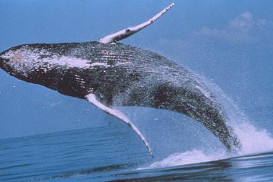 humpback_breaching-noaa