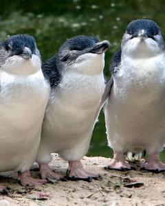 Fairy Penguins Hire Bodyguards