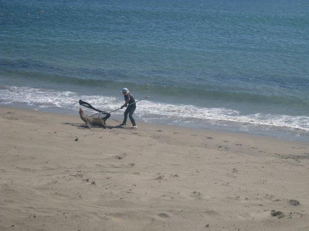 Marine Mammal Center Volunteer Tries to Rescue E-Seal