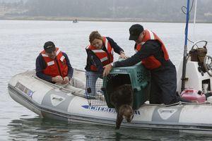 Sea otter release