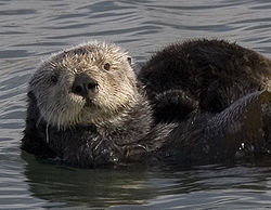 250px-Sea_otter_cropped