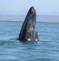 Gray Whale photo by C. Coimbra