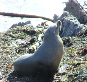 California Sea Lion resting on kelp lined beach.  C. Coimbra photo
