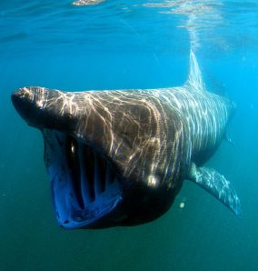 Basking Shark by Greg Skomal