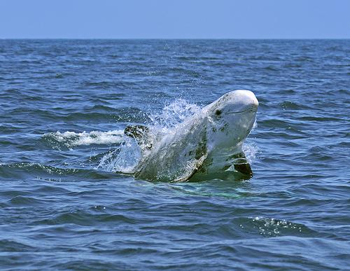 Rissos dolphin - photo#27