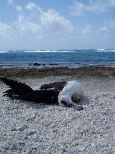 laysan albatross by Cliare Tackler NOAA-Marine Photobank