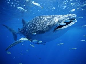 Whale Shark. Photo by Brian J. Skerry for National Geographic. A  recent whale shark siting off of Catalina Island is likely due to warmer California waters.
