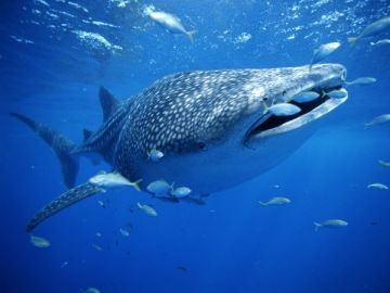 Whale Shark. Photo by Brian J. Skerry for National Geographic