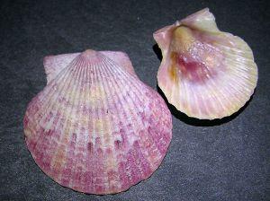 Scollop shells.