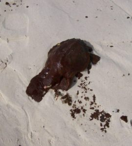 Dead LK covered with oil after BP Oil Spill in Gulf of Mexico. NOAA photo