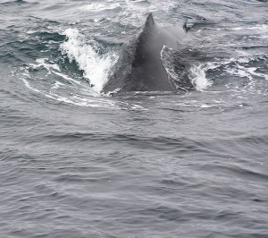 Humpback Whale. C. Coimbra photo