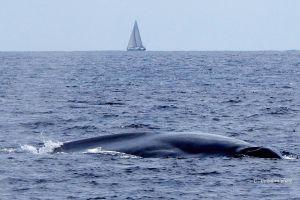 Blue whale near San Diego, CA.