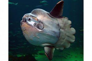 Sunfish, Nordsøen Oceanarium, Hirtshals, Denmark Per-Ola Norman via Wiki Commons