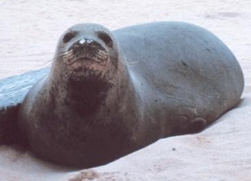 Hawaiian Monk Seal. Wikipedia Commons