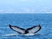 Humpback Whale fluke. C. Coimbra photo