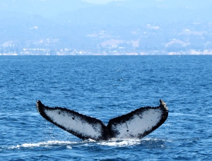 Humpback Whale fluke. C. Coimbra photo