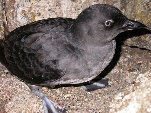 Cassin's auklet. Wikipedia Commons photo