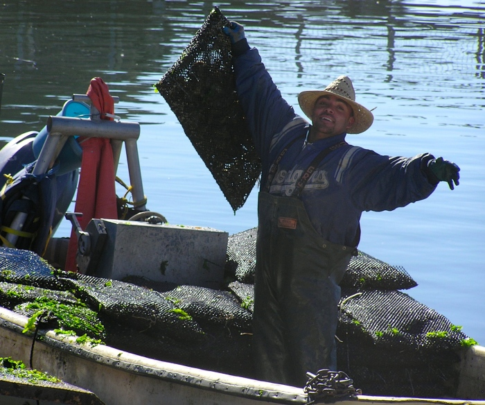 Oyster harvest. C. Coimbra photo.
