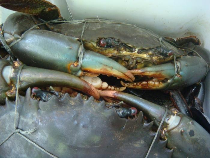 Blue crab. John Starmer/Marine Photobank
