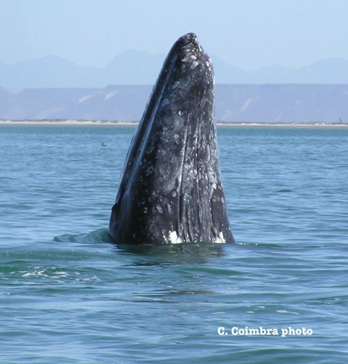 Spy-Hopping grey whale at San Ignacio Lagoon.