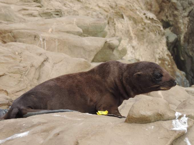 Guadalupe fur seal. (NOAA photo)
