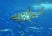 Great White Shark. Wikipedia Commons
