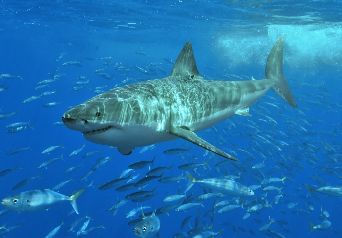 Great White Shark. Wikipedia Commons