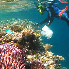 Australian Institute of Marine Science. Researcher Madeleine van Oppen collects coral fragments for her breeding project.