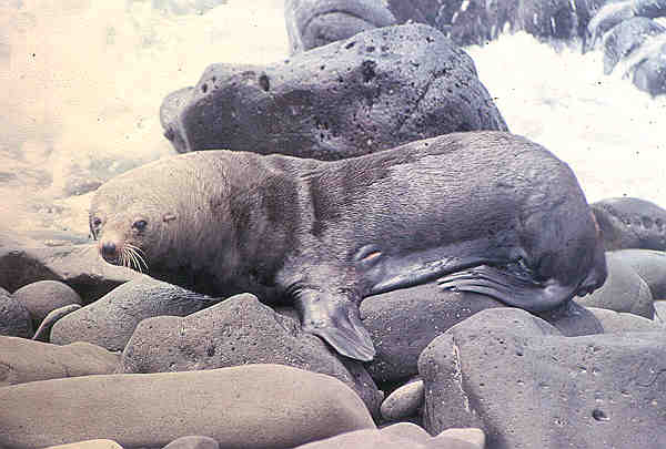 Guadalupe Fur Seal. Wikipedia Commons photo