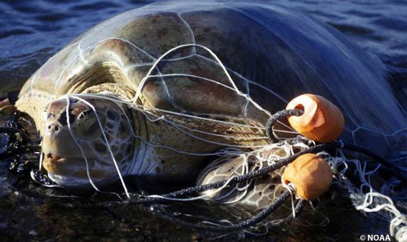 tangled-sea-turtle