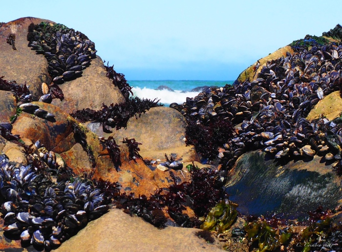 Mussels on Moonstone Beach