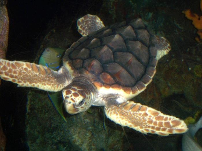 Loggerhead_turtle