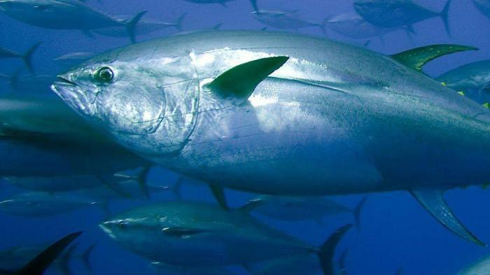 tunfisk_tunfisk