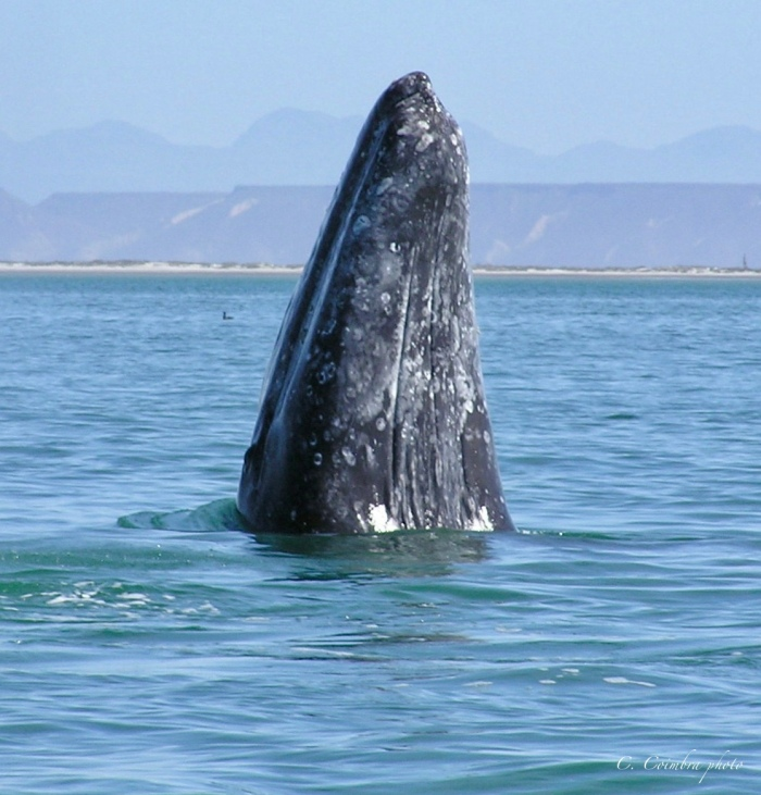 Grey Whale