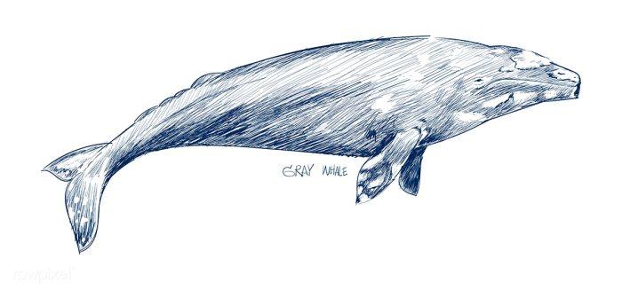 v27-n-aom-04-whale_4